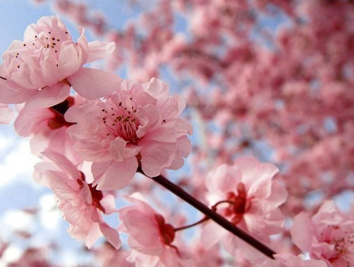 fiore-di-ciliegio_O2